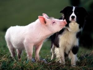 schweinchen+hund